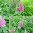 トリフォリウム・ルーベンスの花は