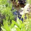 長野県諏訪郡下諏訪町にある八島湿原では、アヤメの花が咲き始めています