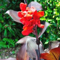 葉が紫色のカンナが燃えるような真っ赤な花をつけています。 (Photo No.14375)