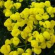「おはようの花」 カルセオラリア