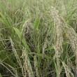 稲刈り適期