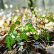 早春の白い花々(赤塚植物園 2019.2.21 撮影)