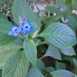 ルリハナガサの花は