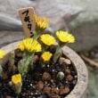 「おはようの花」 フキタンポポ