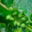 自家栽培コーヒー