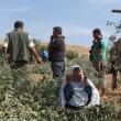 【報道しない自由】極悪イスラエルが、Al-Khaderの400種のオリーブとグレープバインの苗木を根絶