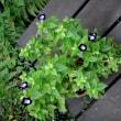 ハナウリクサ(花売草)またはトレニア