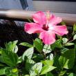 花~ハイビスカス2種