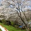 桜追いかけて④ 医王寺・虹山団地
