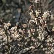 知恩寺の春