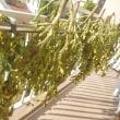 黒豆収穫 (ID:ju5v9l)