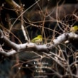 メジロ囀る春の