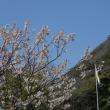 『桜散る』 学習館