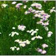 春紫苑または姫女苑の花