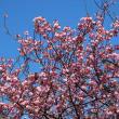 八重桜(やえざくら)という花