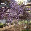 春の羽生にて ―下村君の古藤―
