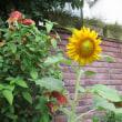 庭にひまわり🌻咲く玄関!