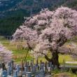 清水の桜 12