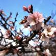 <彦根城・二季咲桜> 可憐な小輪の花が満開に