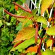 秋の野草達、センダングサ、チヂミザサ等
