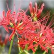 秋の花々 トウゴウギク マンジュシャゲ