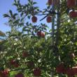 りんごそしてりんご
