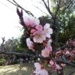 茨大玄関近くの大寒桜開花
