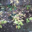 庭のベリー達、そろそろ収穫も終わりかな?。