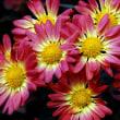 菊の季節・・・