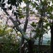 椿寒桜の原木