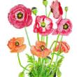 ケシの花を描く