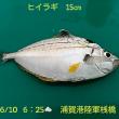 笑転爺の釣行記 6月10日☁ 浦賀港陸軍桟橋(ヒイラギ)