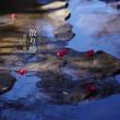 散り椿【東勝寺橋】滑川にみる四季の移ろい