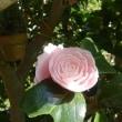 侘助椿の開花が始まりました)^o^(