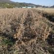 大豆の収穫が間近になりました。