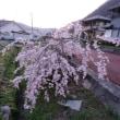茶色い弁当と枝垂れ桜