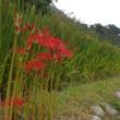 本谷温泉の彼岸花