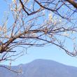 梅花の雲海・・・北九州市白洲梅林