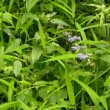 林縁の草むらにアキノタムラソウの花