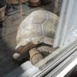 窓の外で斜めっているチビアルダゾウガメ