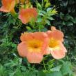 新しいノウゼンカズラの花