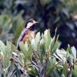 4/25探鳥記録写真(狩尾岬の鳥たち:キビタキ、ヤマガラ、セグロセキレイ、イソシギほか)