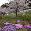 松本市美鈴湖周辺の桜開花状況