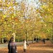 枯葉ちるプラタナス並木