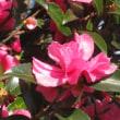 サザンカの花絨毯
