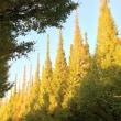 イチョウ並木が、、。