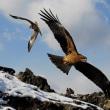 野鳥 飛翔写真