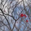 ★初冬の里山で目を引く赤い物特集 2017