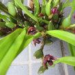 マキシラリア バリアビリス黄花&赤花 Maxillaria variabilis