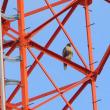 鉄塔にとまっていたのは、ノスリだった。